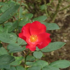 どこか山茶花を思わせるバラ「かざぐるま」(薔薇シリーズ20)