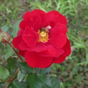 深紅の花弁が開ききって華麗なバラ「タランガ」(薔薇シリーズ32)