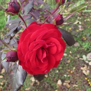 成熟した色気のある魅力的な赤バラ「ユーロピアーナ」(薔薇シリーズ33)