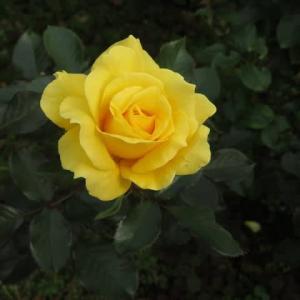 混じり気のない黄色のバラ「サン・フレアー」(薔薇シリーズ34)