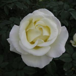 清楚なクリーム色が魅惑的なバラ「ガーデンパーティ」(薔薇シリーズ39)