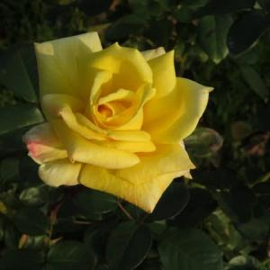 淡い黄色の端麗なバラ「ゴールド・コローネ」(薔薇シリーズ73)