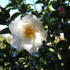 端麗な八重咲の白の山茶花「銀竜」(山茶花シリーズ21)