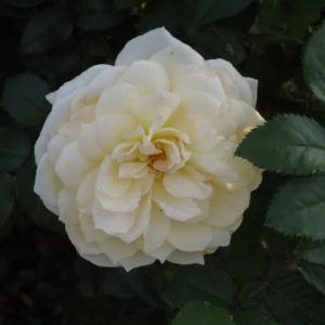 クリームイエローのおっとりとしたバラ「チャイコフスキー」(薔薇シリーズ74)