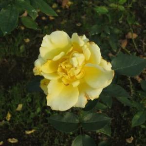 香りの高い黄金色のバラ「ドゥフト・ゴールド」(薔薇シリーズ76)