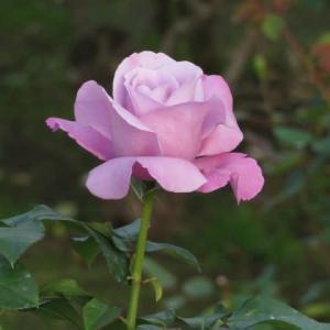 メイヤン家の作出になる端麗な青バラ「シャルル・ド・ゴール」(薔薇シリーズ77)