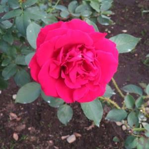 ビロードのような手触りの深紅のバラ「乾杯」(薔薇シリーズ79)