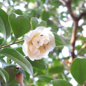 白い花弁が緩く波打つ椿「白唐子」(椿シリーズ04)