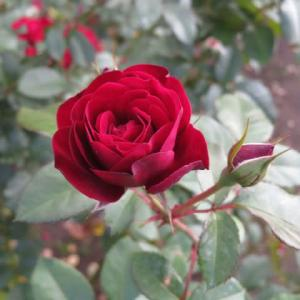 ビロードのような感触の真っ赤のバラ「ラバグルート」(薔薇シリーズ106)
