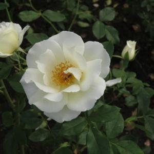 アイボリー・ホワイトの端正なバラ「ホワイト・マジック」(薔薇シリーズ107)