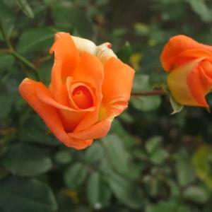 黄色に朱がかかった珍しいバラ「ゴールデン・スリッパーズ」(薔薇シリーズ108)