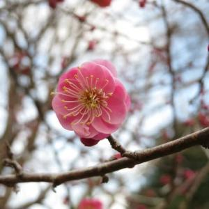 八重の花の形が美しい紅梅「唐梅」(梅シリーズ11)