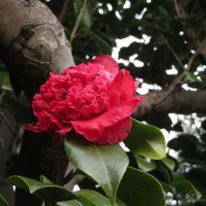 濃い紅色から赤の唐子咲きの椿「紅獅子」(椿シリーズ16)