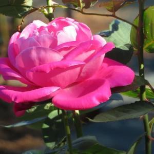 盛り上がるような豪奢なピンクのバラ「ピンク・スパイラル」(薔薇シリーズ115)