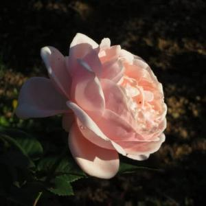 サーモンピンクの厚い花弁がずっしりと咲くバラ「アフロディーテ」(薔薇シリーズ146)