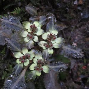 谷沿いにたくさん咲いていた「ヨゴレネコノメ」(高尾の花09)