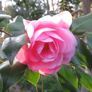 ピンクの八重の花が蓮華咲きに咲く椿「不如帰」(椿シリーズ49)