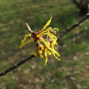 黄色の花がねじれたリボンのように開くマンサク「アーノルド・プロミス」(20-028)