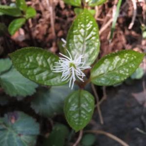 早春に出会うのが楽しみな「ヒトリシズカ」(高尾の花12)