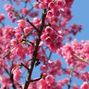 釣り鐘状の赤い花が下向きにたわわに咲く「カンヒザクラ」(20-032)
