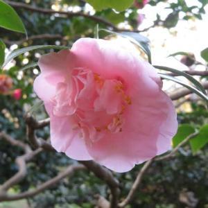 淡い桃色の獅子咲きの椿「神楽獅子」(椿シリーズ52)