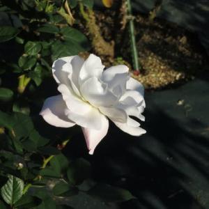 白の大輪に薄くピンクのぼかしが入るバラ「プリスタイン」(薔薇シリーズ152)
