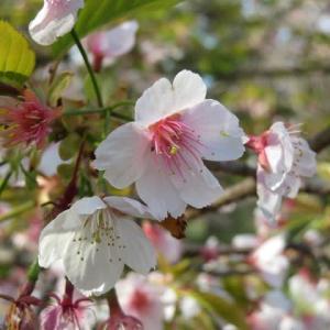 薄いピンクの大きな花が咲く「大寒桜」(20-033)
