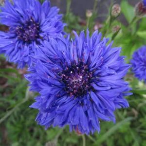 サファイア色の花が愛されたヤグルマギク(20-098)