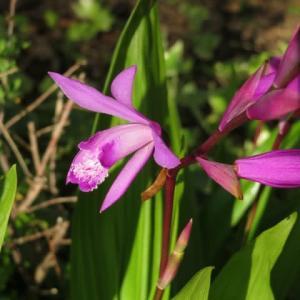 ちゃんと蘭の花の形をしているシラン(20-100)