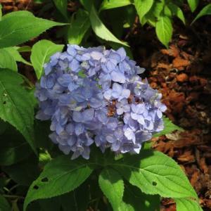 一重の紫色の花が集まるヤマアジサイ「久住小でまり」(アジサイシリーズ 20-08)