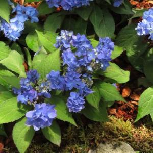 一重の花も八重の花も混在するヤマアジサイ「九重の花吹雪」(アジサイシリーズ 20-09)