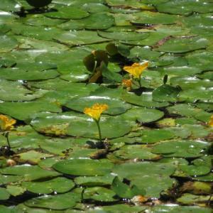 池一面を覆っていたアサザ(箱根シリーズ 009)