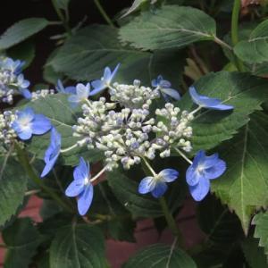 濃紺のガク咲きのヤマアジサイ「海峡」(アジサイシリーズ 20-13)