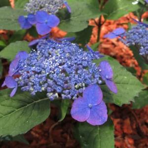 ガク咲きの濃い紫の装飾花がみごとなヤマアジサイ「濃紫」(アジサイシリーズ 20-15)