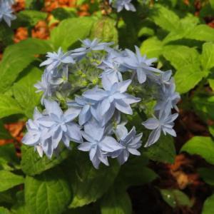 薄い青の尖った装飾花の花弁が目を引くヤマアジサイ「土佐のまほろば」(アジサイシリーズ 20-16)