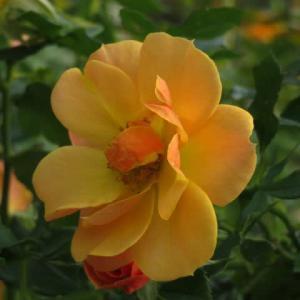 山吹色から黄色に色変わりするつるバラ「サイレンス・イズ・ゴールデン」(薔薇シリーズ230)