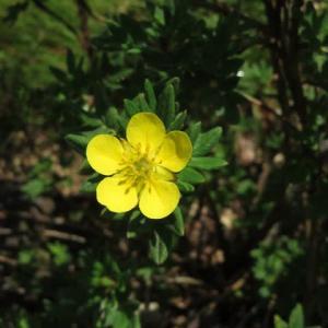 黄色い梅鉢型の花が目立つ「キンロバイ」(箱根シリーズ 017)