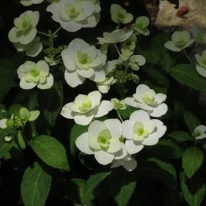 白い八重の装飾花が清楚なヤマアジサイ「富士の滝」(アジサイシリーズ 20-17)