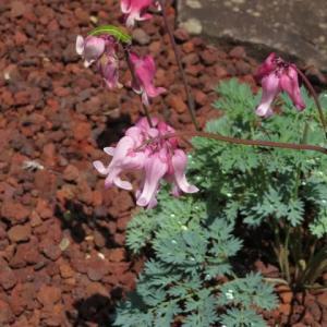 「高山植物の女王」と呼ばれるコマクサ(箱根シリーズ 026)