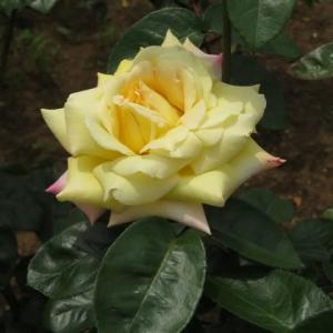 黄色の花にピンクの覆輪がはいる典雅なバラ「ピース」(春薔薇シリーズ20-002)