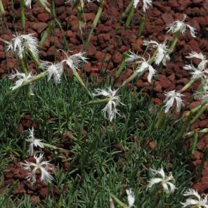 白の花が繊細な「ナデシコ・リトル・メイデン」(箱根シリーズ 029)