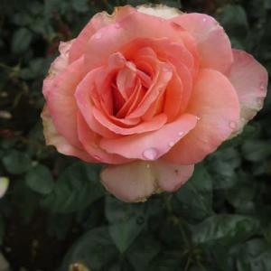 メイヤン家の作出になるサーモンピンクのバラ「シルバ」(春薔薇シリーズ20-012)
