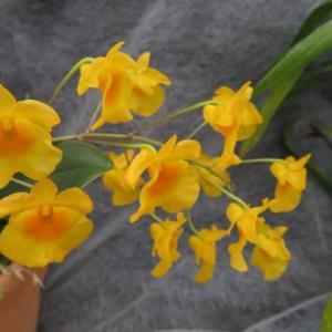 黄色の花が群れるように開くラン「デンドロビウム・リンドレイ」(蘭シリーズ 20-70)