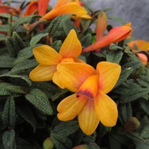 橙色のな大きなリップと、縮れたような葉の対比がユニークな「デンドロビウム・クスバートソニー 」(蘭シリーズ 20-78)