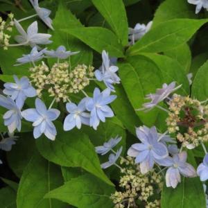 淡い青の八重の装飾花が額縁咲きするヤマアジサイ「土佐童」(アジサイシリーズ 20-39)