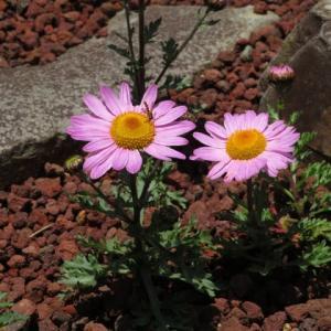 北海道の浜辺に咲くイワギクに似た菊「ピレオギク」(箱根シリーズ 035)