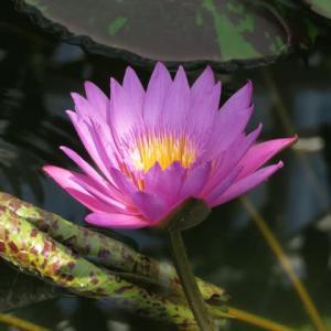 濃いピンクの花弁と花芯の黄色い蕊の対比が美しいスイレン「クイーン・オブ・サイアム」(睡蓮シリーズ03)