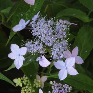 薄紫の装飾花が美しいヤマアジサイ「伊予の星屑」(アジサイシリーズ 20-44)