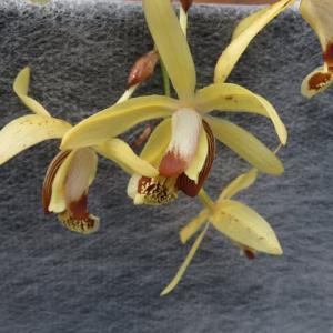 長く垂れる花茎に黄色の花がつくラン「セロジネ・トメントサ」(蘭シリーズ 20-84)