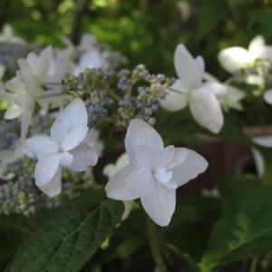 珍しい子持ち咲きのヤマアジサイ「胡蝶の舞」(アジサイシリーズ 20-45)